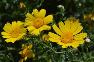 glebionis-coronaria-crown-daisy