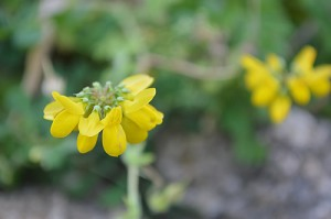 Hippocrepus comosa (Eng: Horseshoe vetch, Hr: unknown)