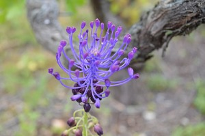Leopoldia comosa or Muscari comosum (Eng: Tassel hyacinth, Hr: Kitnjasta presličica) Related to grape hyacinth
