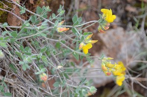 lotus-corniculatus-birds-foot-trefoil