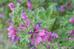 Malva sylvestris (Eng: Mallow, Hr: Crni sljez) Photographed in Split