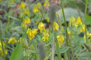 melilotus-officinalis-yellow-sweet-clover