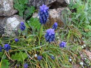 Muscari neglectum (Eng: Grape hyacinth, Hr: Razgranjena presličica)