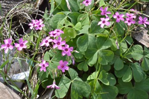Oxalis articulata (Eng: Pink sorrel, Hr: Cecelj) Native to S. America, now widespread in Europe