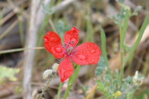 papaver-argemone-poppy