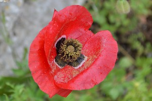 Papaver rhoeas (Eng: Poppy, Hr: Divlji mak) Common poppy, seen everywhere!