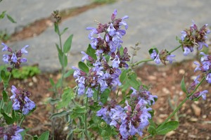 Salvia officinalis (Eng: Sage, Hr: Kadulja) Makes a lovely cordial drink