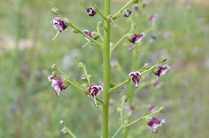 scrophularia-figwort