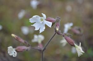 Silene latifolia (Eng: White campion, Hr: Pušina)