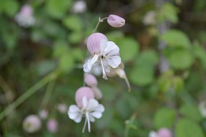 Silene vulgaris (Eng: Bladder campion, Hr: Pušina)