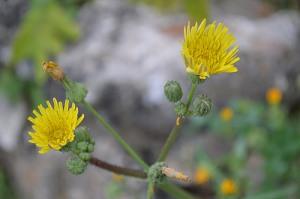Sonchus asper (Eng: Prickly sow-thistle, Hr: Oštri kostriš)