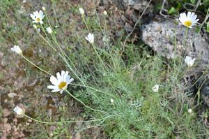Tanacetum cinerariifolium (Eng: Pyrethrum, Hr: Buhač)