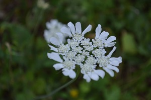 Tordylium apulium (Eng: Mediterranean hartwort, Hr: Apulijska orja šica)