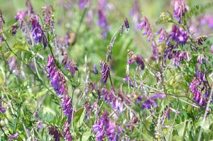 vicia-villosa-hairy-vetch