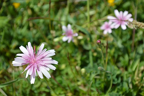 Unidentified pink flowers at Asseria