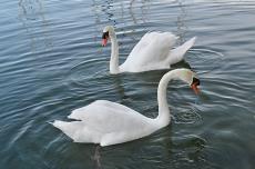 Famous Skradin swans