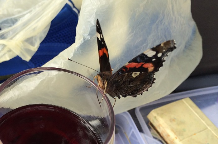 Red admiral likes a glass of wine