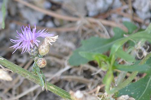 Centaurea glaberrima Tausch