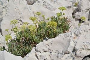 Crithmum maritimum (Eng: Samphire, Hr: Motar) This photo taken on Sv Klement