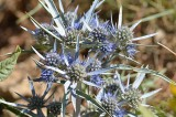 Guide to Hvar's wildflowers in the latesummer
