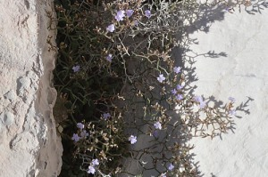Limonium cancelatum (Eng: Lattice sea-lavender, Hr: Rešetkasta mrižica or Rešetkasta travulja)