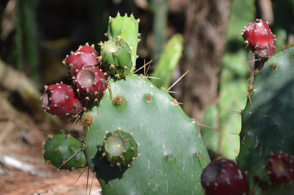 Opuntia - prickly pear