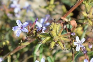 Plumbago europaea (Eng: Common leadwort, Hr: Vranjemil?)