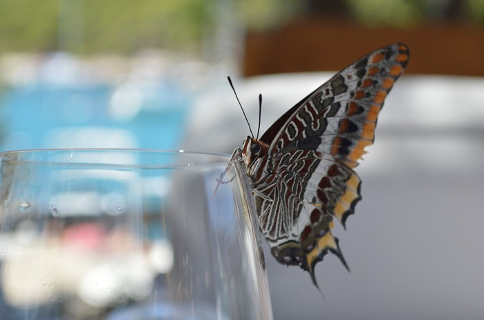 Two-tailed pasha also going for my wine