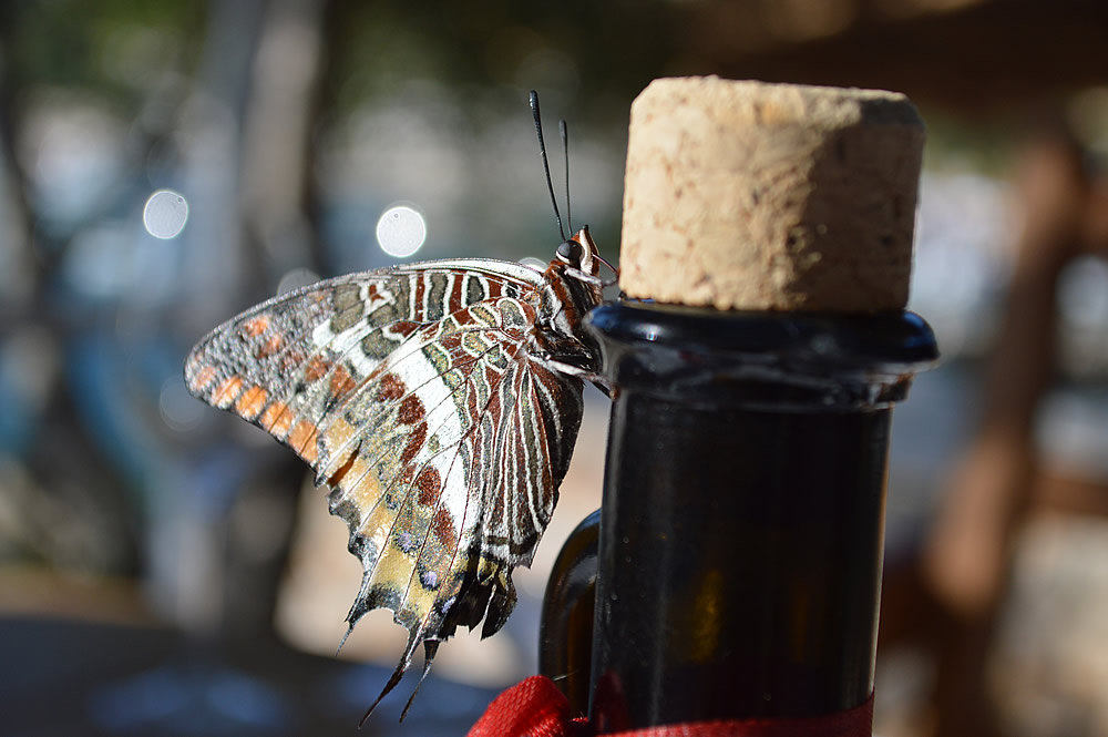 Two-tailed pasha underside