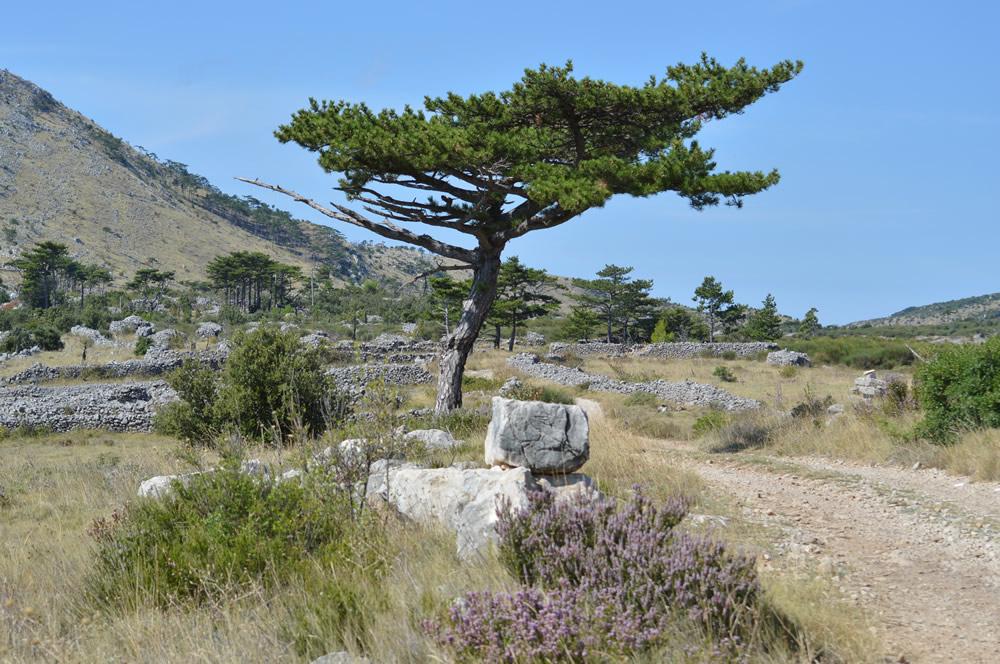 Black pine and heather on Vorh