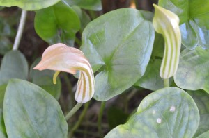Arisarum vulgare (Eng: Friar's cowl, Hr: not known)