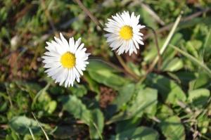 Bellis perennis (Eng: Common daisy or bruisewort, Hr: Tratinčica)