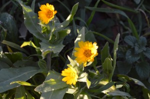 Calendula arvensi or officinalis (Eng: Field marigold, Hr: Neven )