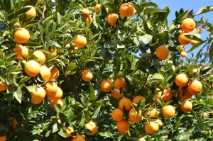Citrus sinensis (Eng: Orange, Hr: Mandarina) Not native, but popular in gardens!