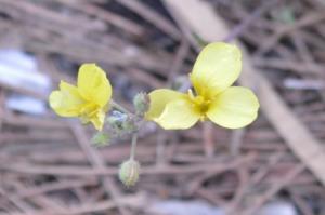 Diplotaxis Tenuifolium