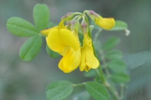 Hippocrepus comosa (Eng: Horseshoe vetch, Hr: not known)
