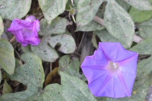 Ipomoea purpurea (Eng: Purple Morning Glory, Hr: Ukrasni slak)