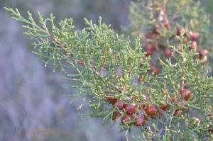Juniperus phoenicea (Eng: Phoenician juniper / Arar, Hr: Gluhač / Gluha smrča)