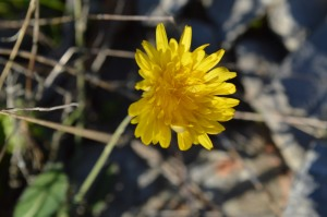 Leontodon (Eng: Hawkbit (not to be confused with dandelion), Hr: Oštrodlakavi lavlji zub / kratkodlakava ločina)