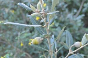 Quercus ilex (Eng: Holm oak, Hr: Hrast crnika / česmina)