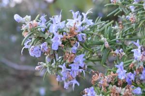Rosmarinus officinalis (Eng: Rosemary, Hr: Ružmarin)