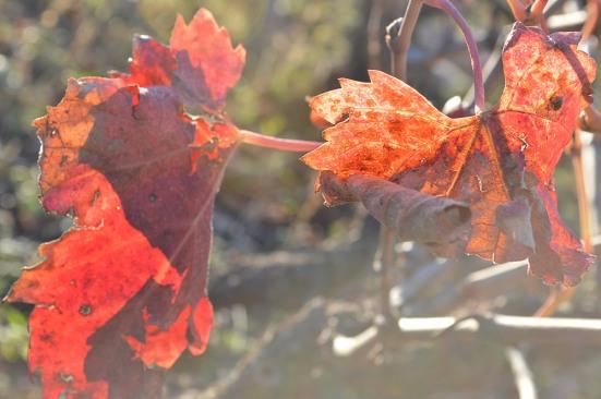 Vine leaves - a lovely splash of colour in winter!