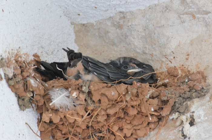 Pile of chicks