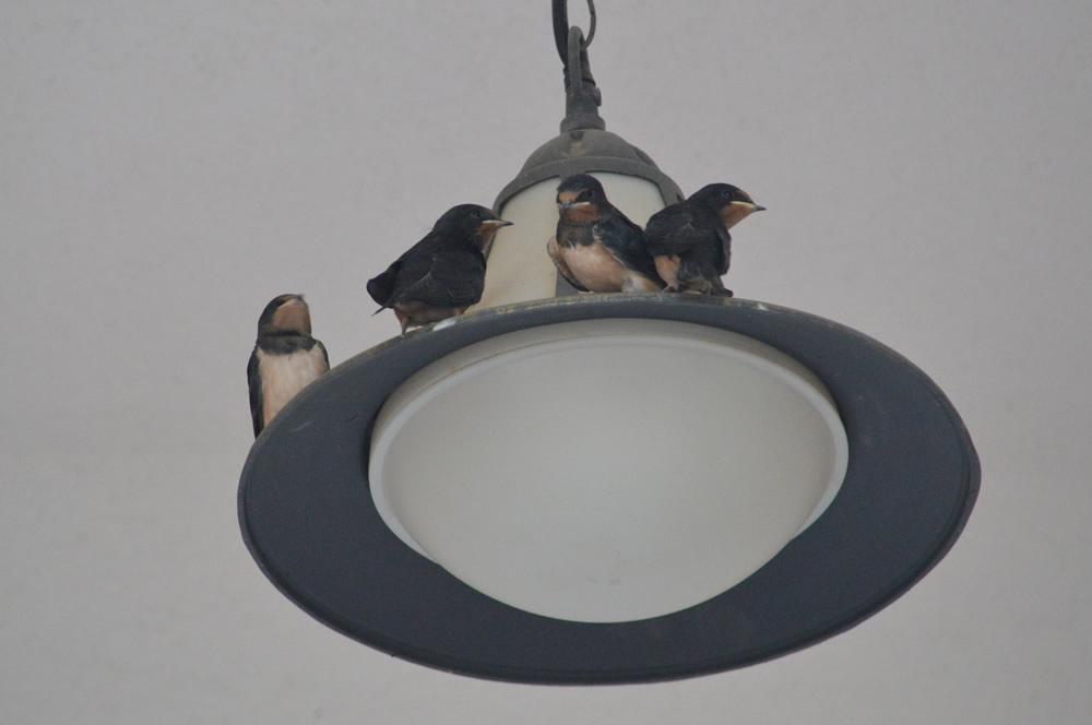 Fledglings on the light