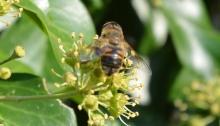 Solitary bee - Osmia rufa