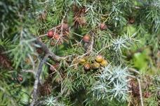 Prickly juniper