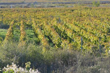Vineyard in early October