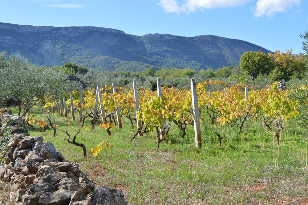 Vineyard turning yellow