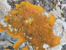 Caloplaca lichen