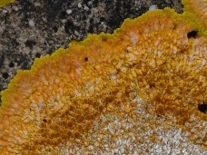 Crustose lichen detail